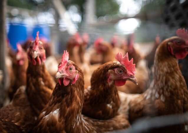 This photograph taken on october 24, 2019, shows chickens in a biological farm in Mont-Saint-Aignant, near Rouen, on october 24, 2019