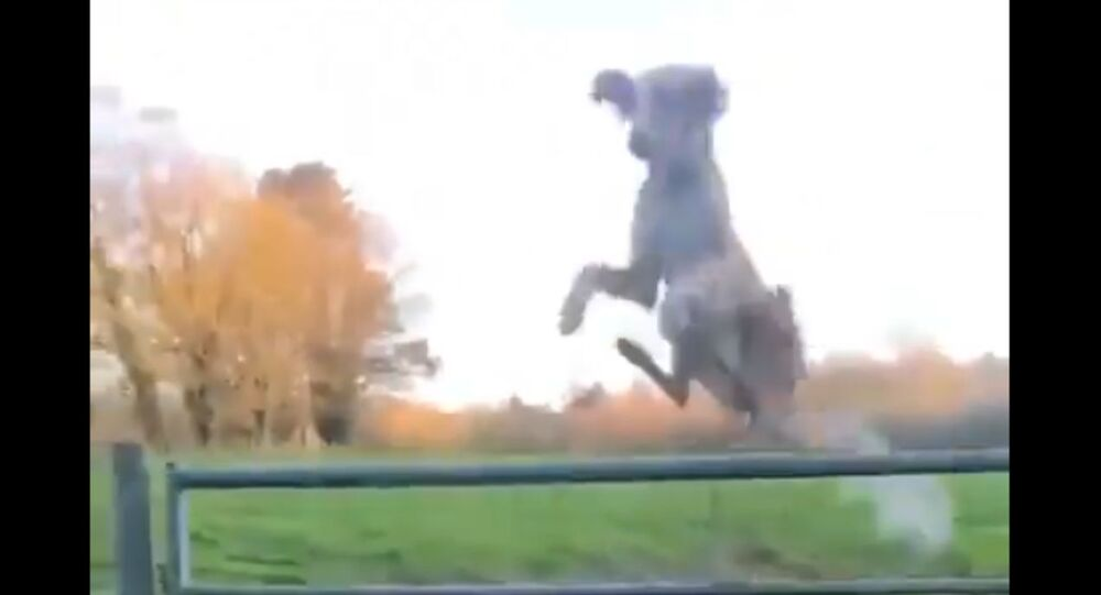 'Helicopter Dog' Soars Over Tall Gate