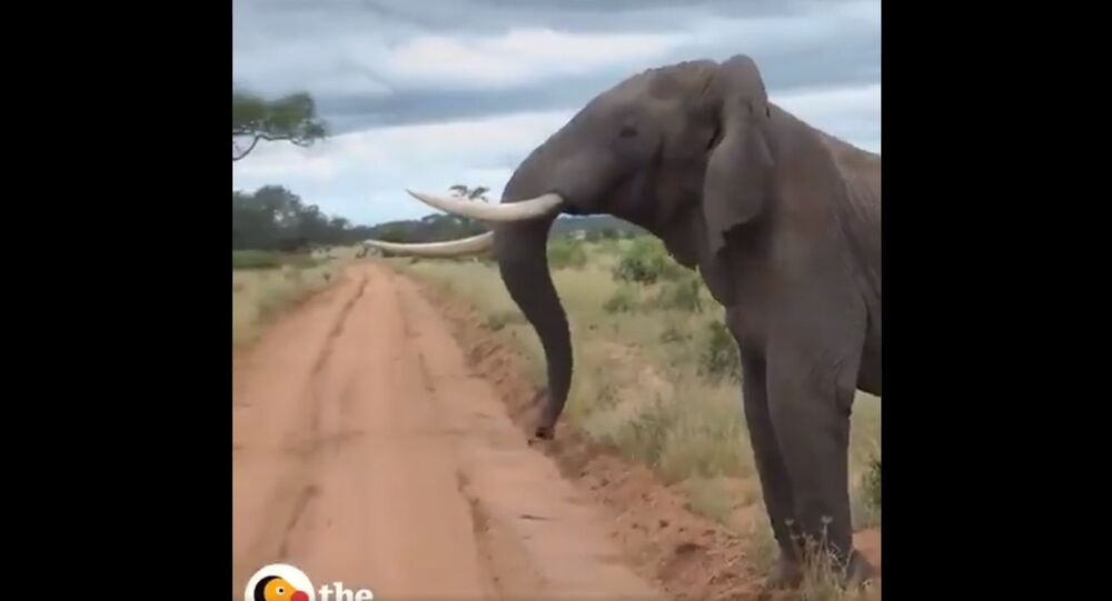 A massive Elephant  breaking up an Ostrich fight !!