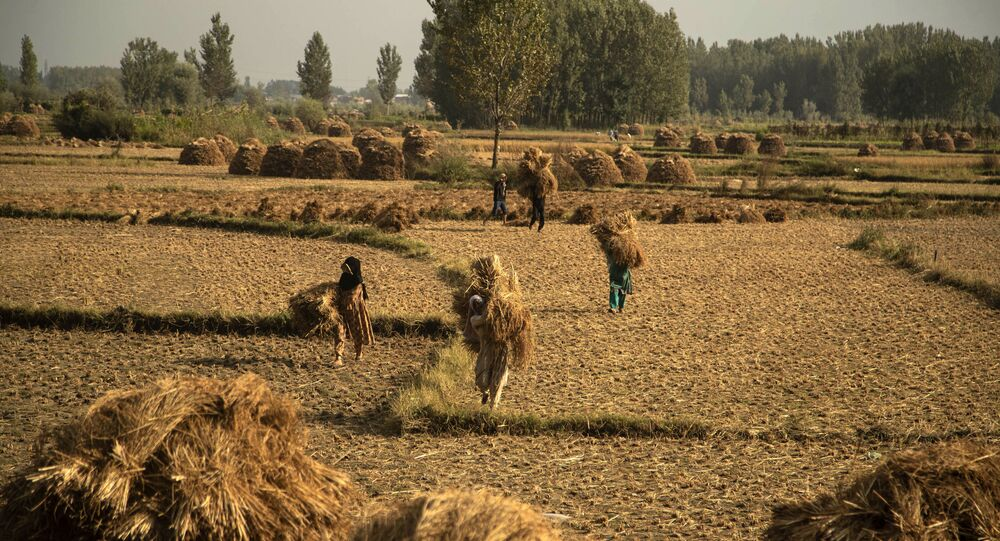 Kashmiri farmers carry paddy after a harvest on the outskirts of Srinagar, Indian controlled Kashmir, 13 September 2020. Apart from tourism, agriculture is the main source of income and employment in the valley.