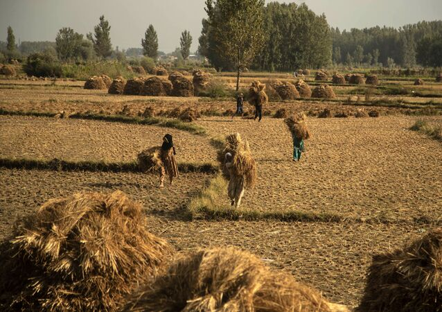 Kashmiri farmers carry paddy after a harvest on the outskirts of Srinagar, Jammu and Kashmir UT, 13 September 2020. Apart from tourism, agriculture is the main source of income and employment in the Kashmir Valley.