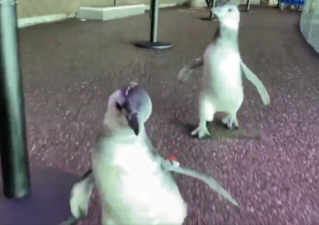 Running into the weekend like the penguin chicks in the Abbott Oceanarium!