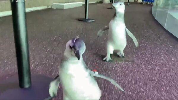 Running into the weekend like the penguin chicks in the Abbott Oceanarium! - Sputnik International