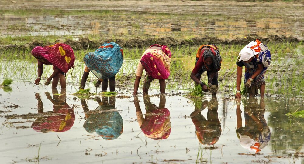 Indian female farmers sow paddy in a field on the outskirts of Allahabad, India, Saturday, June 25, 2011