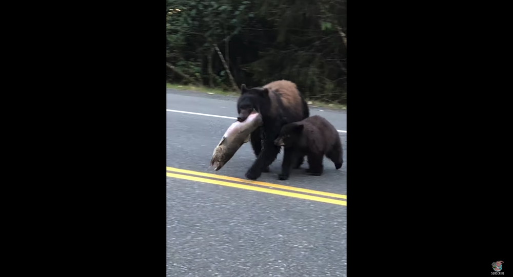 Bear Struts Across Roadway With Her Catch of the Day