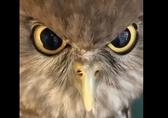 Identity Issues: Owls Don't Always Hoot, Sometimes They 'Bow-Wow'