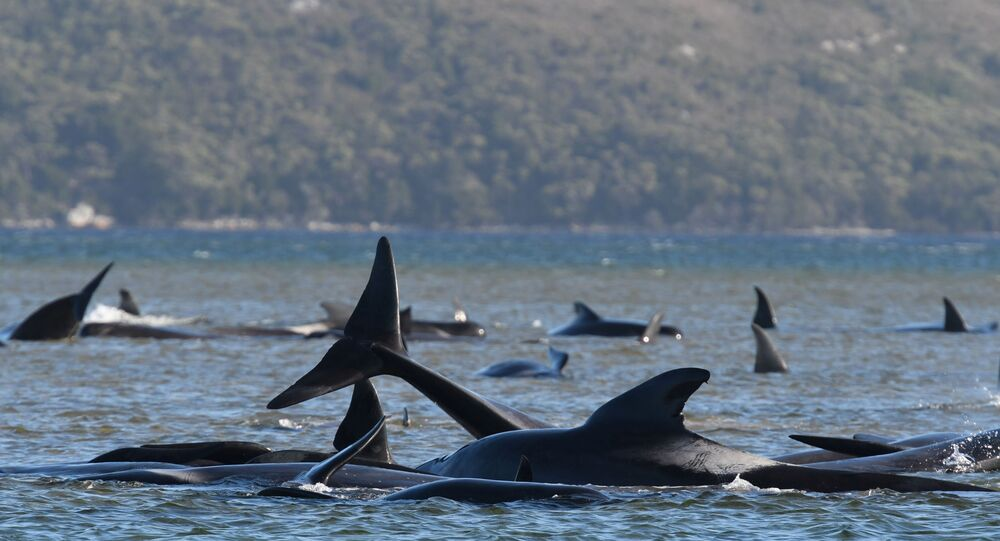 Rescue operation seeks to save hundreds of whales off Tasmania