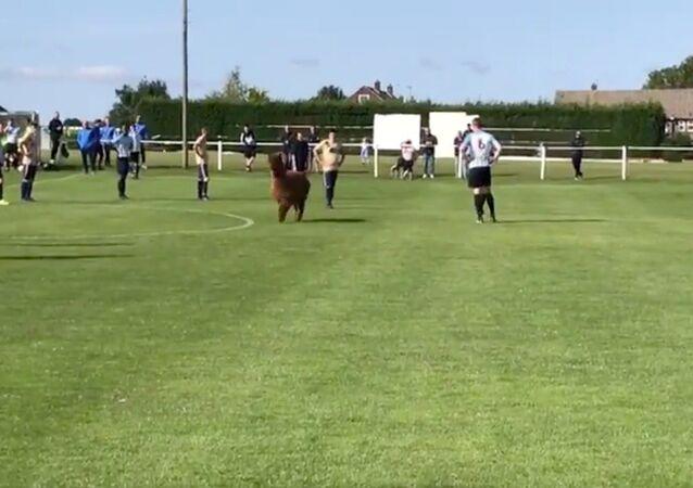 Playful Alpaca Invades UK Soccer Match