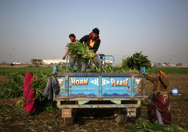 Farm workers load harvested maize crop onto a tractor trolley in a field on the outskirts of Ahmedabad, India, February 1, 2019.