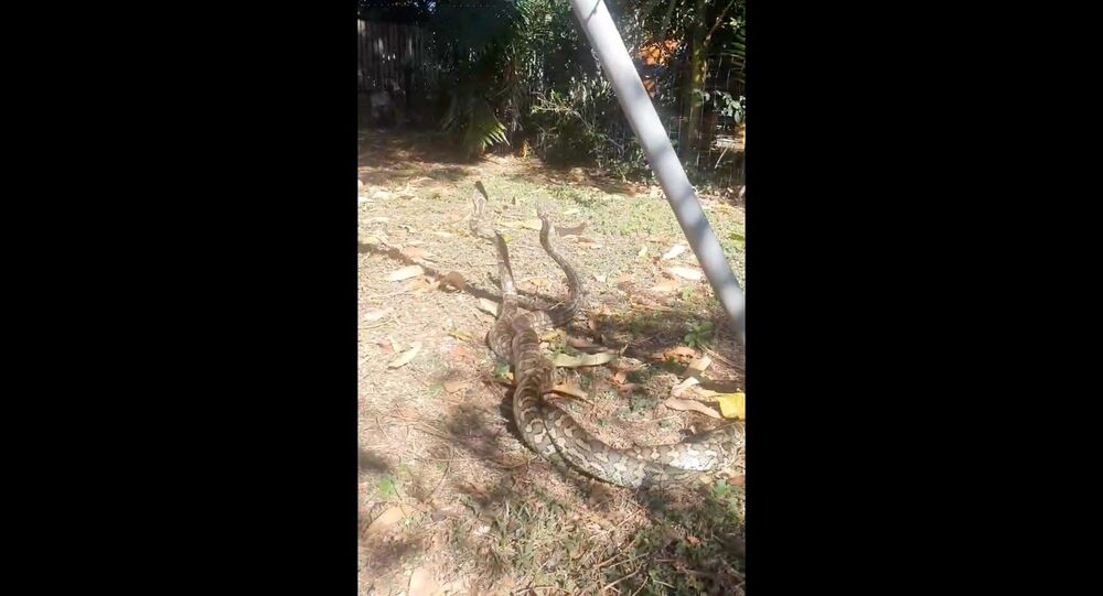 Aussie Man Finds Pair of Warring Snakes in Backyard