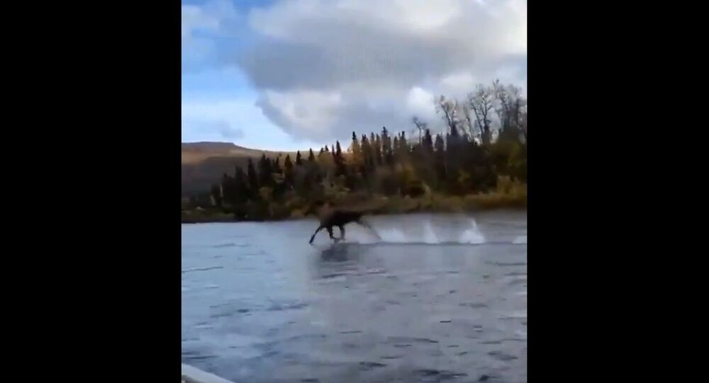 Just a moose running across water