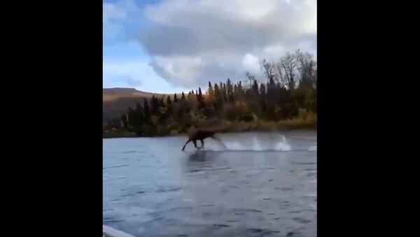 Just a moose running across water - Sputnik International
