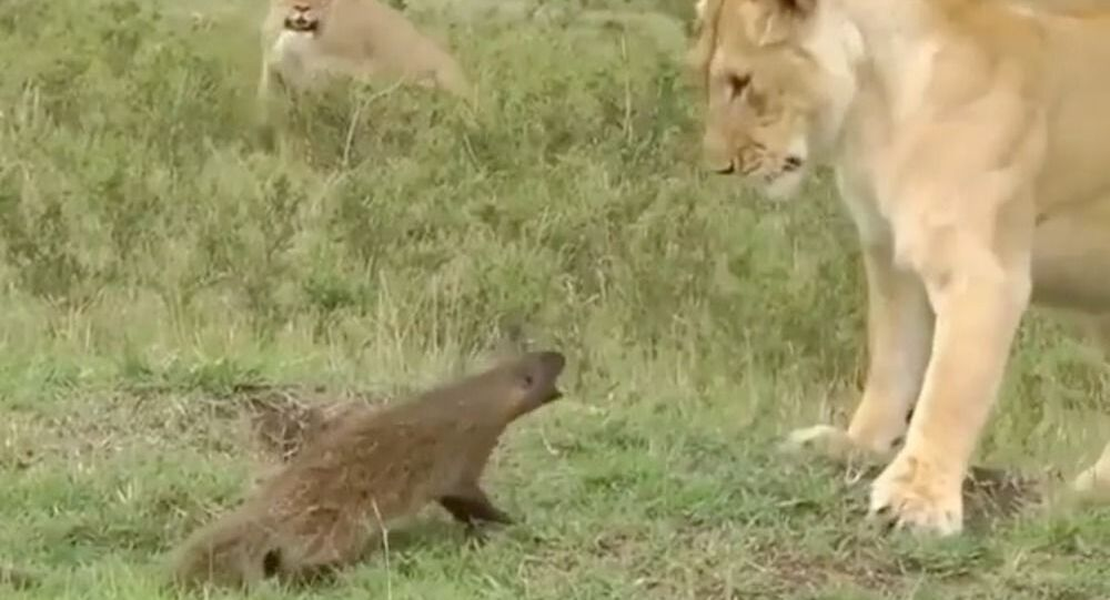 F**k Off, Buddy: Angry Mongoose Chases Lion Away