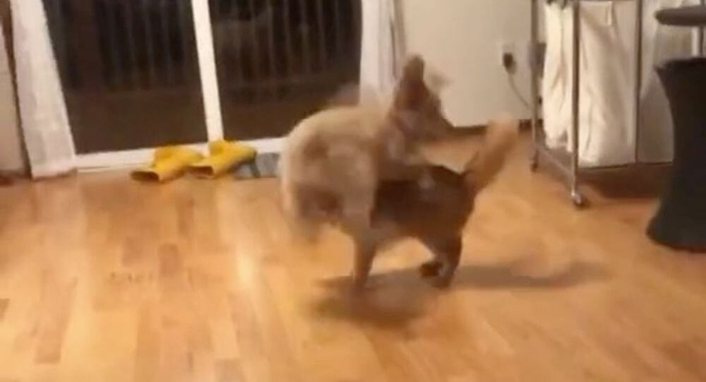 You Drive Me Crazy: Ultra-Active Puppy Trying to Play With Cat