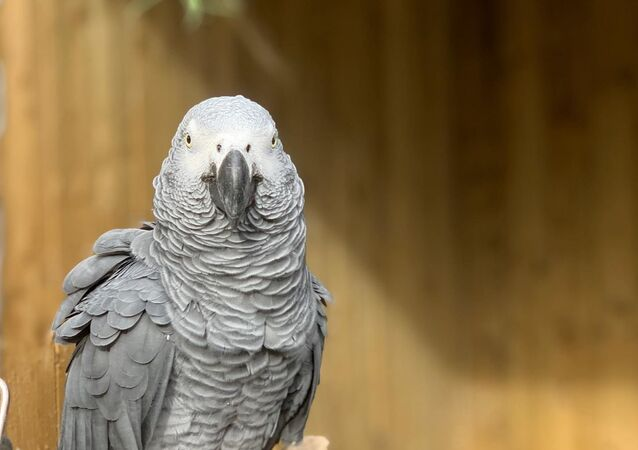 The famous swearing parrots unveiled