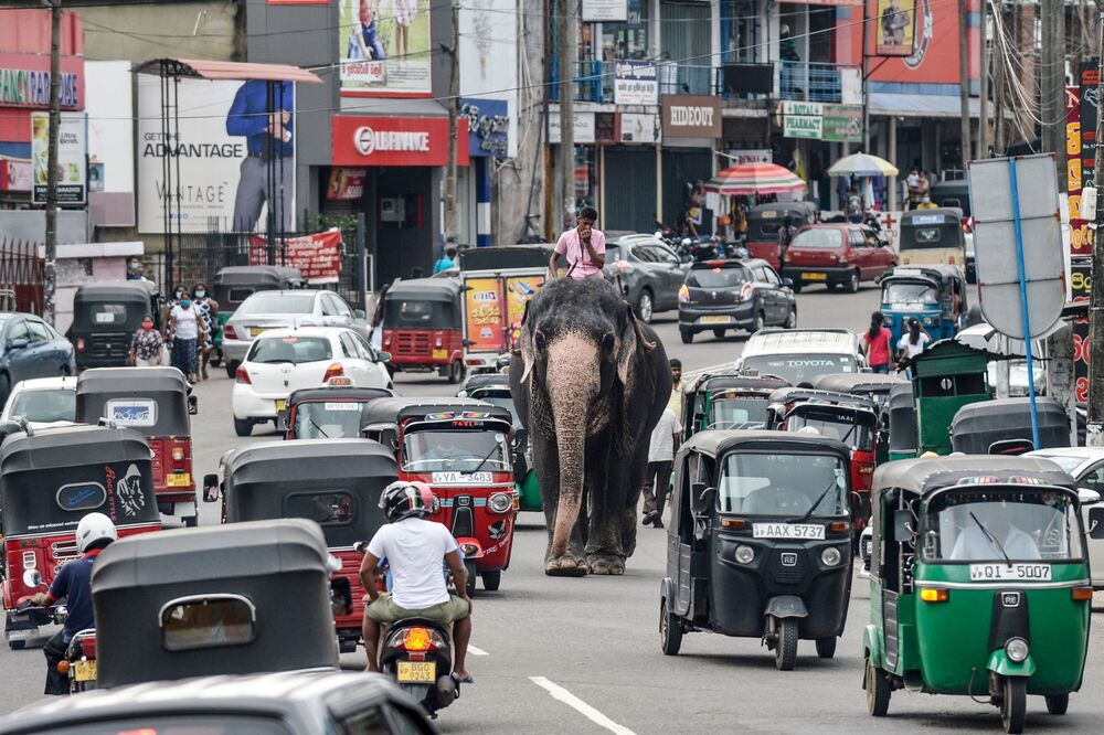 A mahout rides an elephant through the traffic down a street in Piliyandala, a suburb of Sri Lanka's capital Colombo, on 27 September 2020.