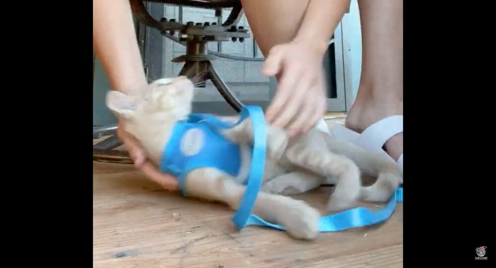 Kitten Powers Down After Being Placed in Harness