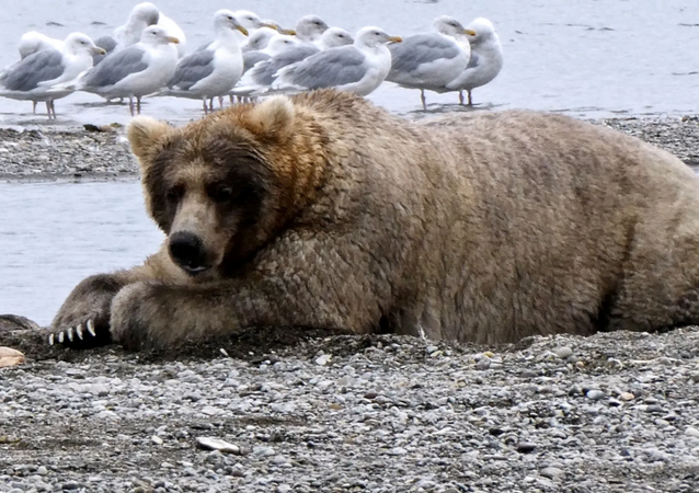 Big and Beautiful: 'Fat Bear Week' Pre-Hibernation Contest Held at Alaskan National Park