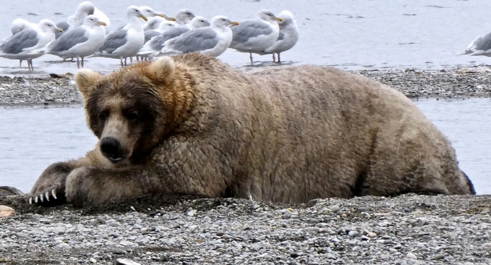 Big and Beautiful: 'Fat Bear Week' Pre-Hibernation Contest Held at Alaskan National Park