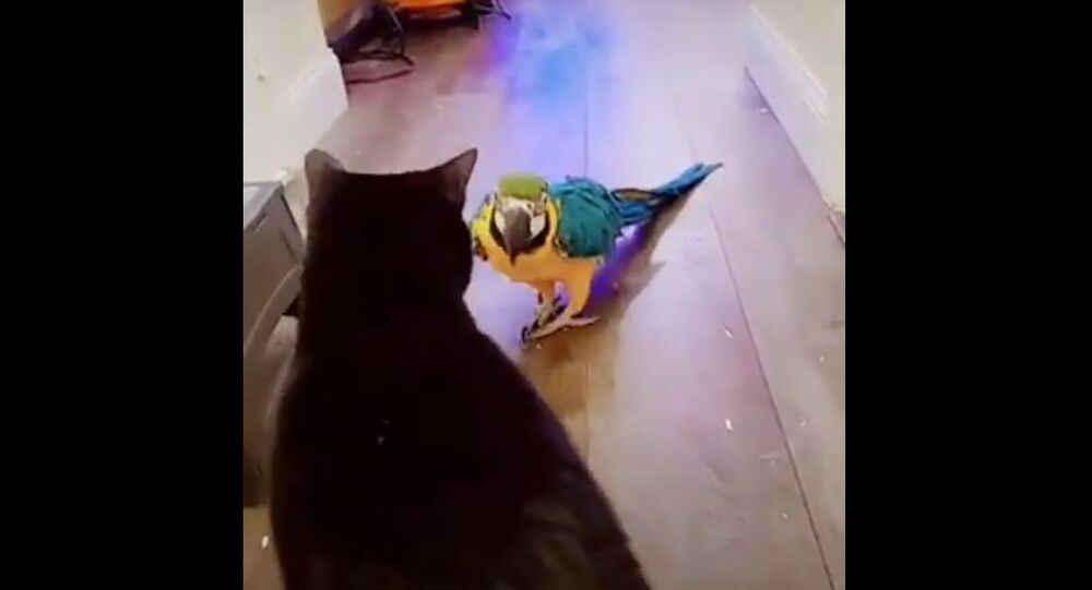 A parrot attacks a cat