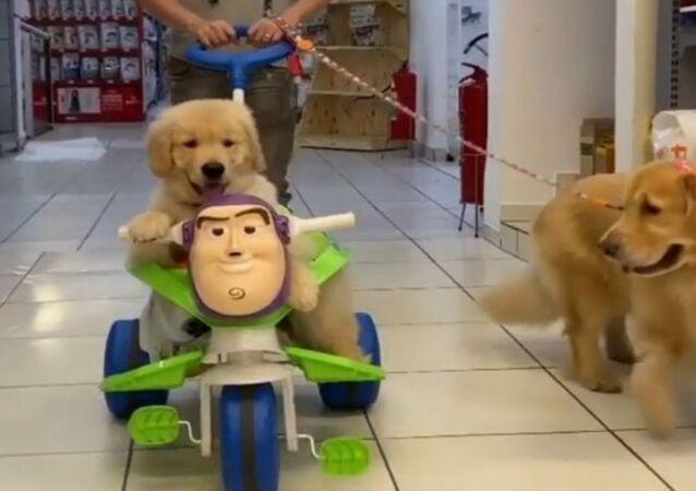 Golden retriever puppies at supermarket