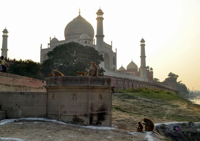 This photo taken on November 13, 2018 shows macaques monkeys gathering near the Taj Mahal monument in Agra in India's Uttar Pradesh state.