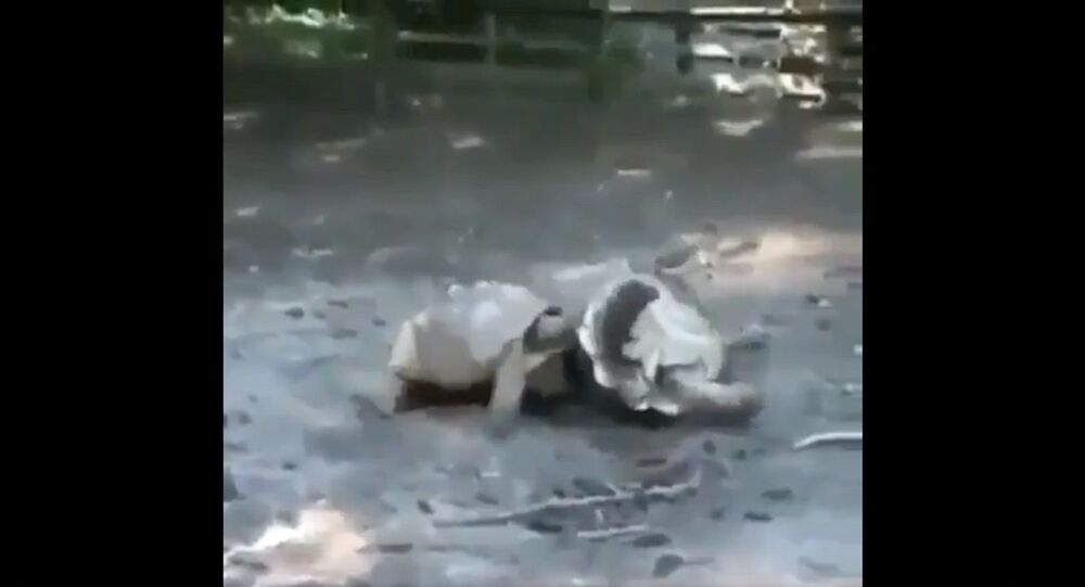 Tortoises looking out for one another