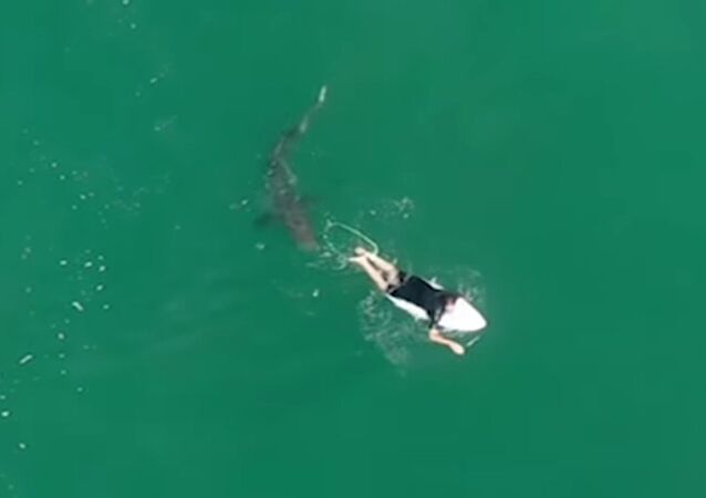 Drone operated by Australia's Surf Life Saving NSW films and alerts professional surfer Matt Wilkinson to great white shark swimming nearby.