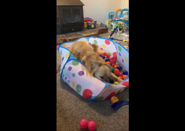 Goofy Golden Retriever Goes Nuts With Kids Toys