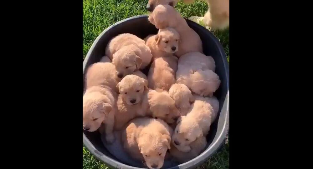 Good Morning from the Golden Retriever Channel. We found a peck of puppers ready for breakfast. Ready to play. Waiting for you!