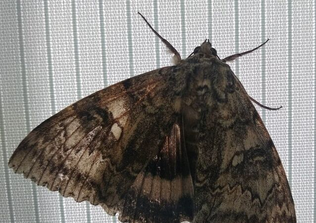 A butterfly with a wingspan the size of bird was spotted in Chernobyl exclusion zone