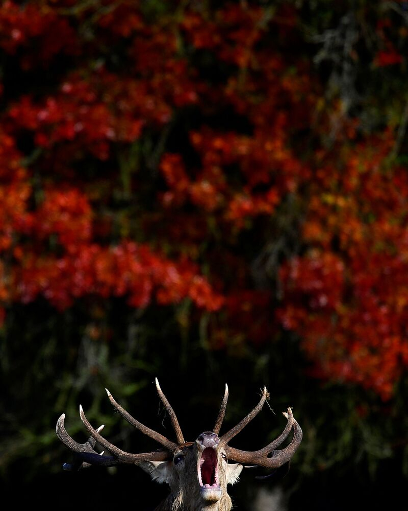 A stag barks in front of autumn foliage during the annual rutting or breeding season, Richmond Park, London, Britain, 11 October 2020.