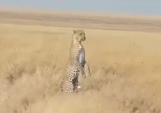 'Lunch's Ready, Where You At': Momma Leopard Searches For Her Baby Standing on 2 Legs