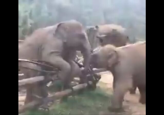 As every child - regardless of species - knows, there's no fun like jumping a fence to play. And if you haven't done it, you have missed something precious in life.