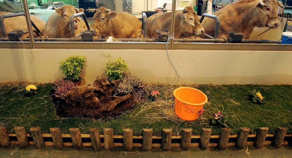 Cows stand in makeshift stables at the International Agricultural Trade Show 2007 on the eve of the opening in Paris, France, Friday, March 2, 2007.