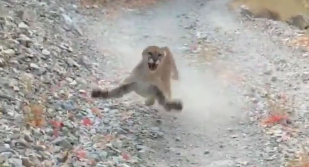 Video shows cougar stalking Utah runner for several minutes