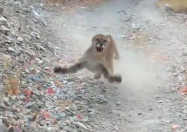 'I don't feel like dying today': US jogger records terrifying encounter with cougar