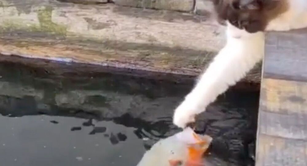 Kitty Plays Friendly With Koi Fish