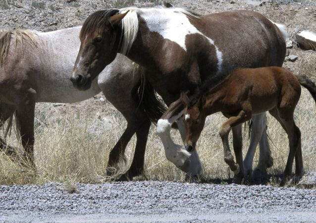 In this June, 2015, file photo, free-roaming horses owned by the state of Nevada walk along the USA Parkway at the Tahoe Reno Industrial Center, east of Sparks near Mustang, Nev.