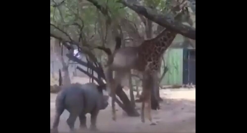 Do you know  that a giraffe can kick in any direction?