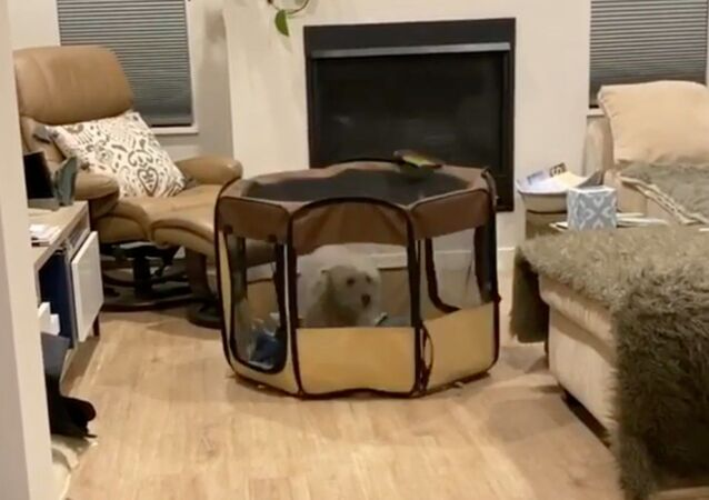 Spunky Goldendoodle Moves Playpen by Hopping