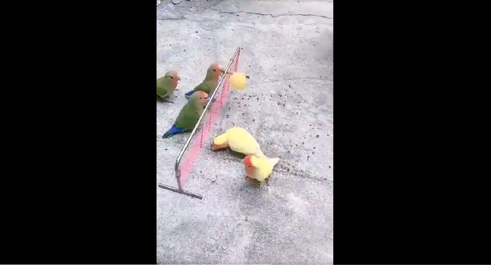 Birds playing volleyball