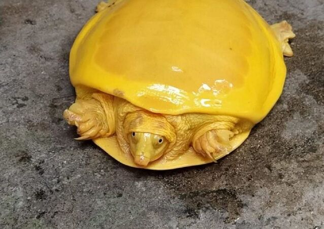 Today a Yellow Turtle was rescued from a Pond in Burdwan,WB