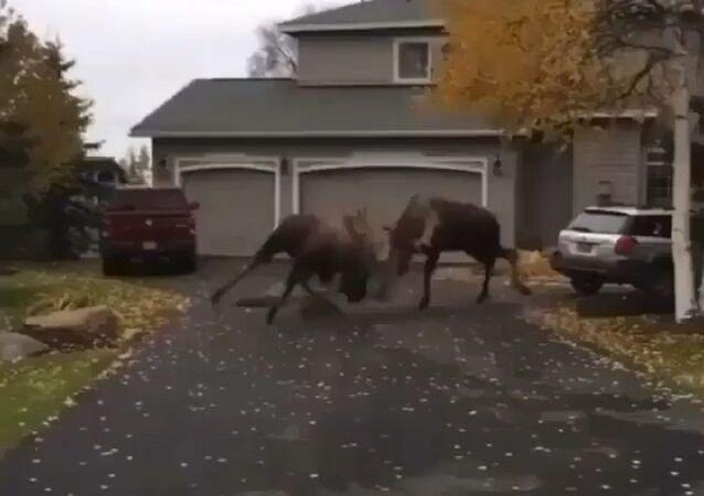 The Moose's fighting hard in Alaska!
