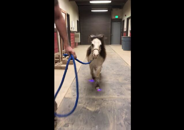 Peppy Miniature Horse Lights Up Night With New Shoes