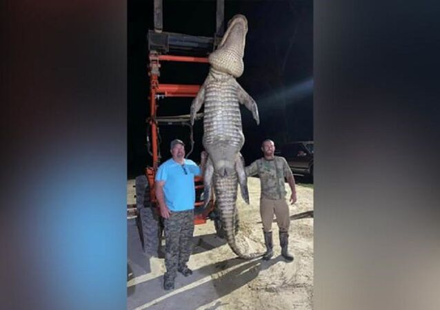 Corey Capps from Florida has ensured that a massive bull alligator will no longer add his DNA to the species