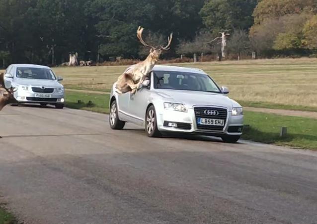 Clashing Deer Spill Fight Onto Roadway
