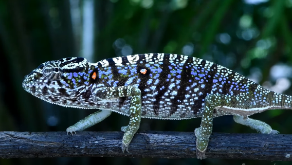 The Voeltzkow-Chameleon (Furcifer voeltzkowi)— Rediscovered after more than 100 years - Sputnik International