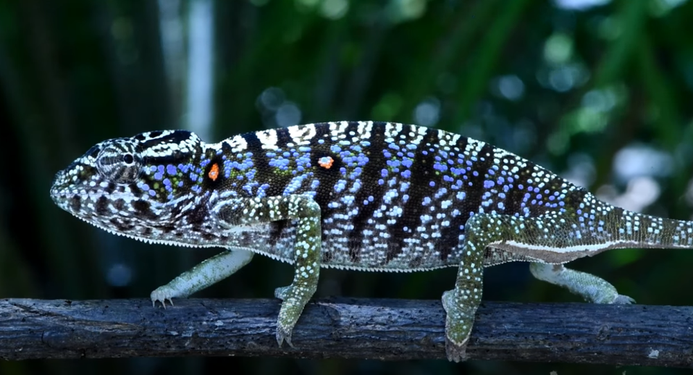 The Voeltzkow-Chameleon (Furcifer voeltzkowi)— Rediscovered after more than 100 years