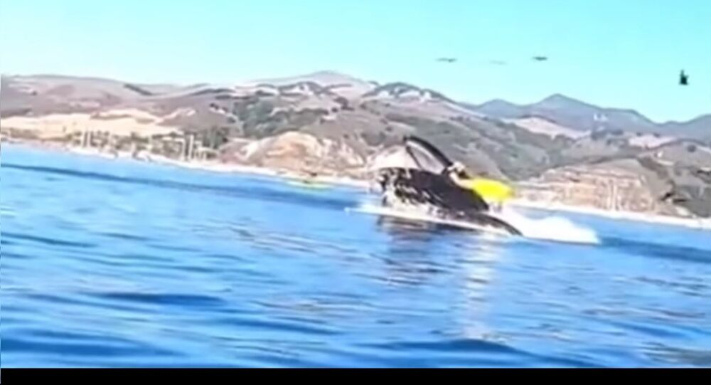 Whale swallowing kayakers in California's Avila Beach